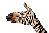 main Zebre