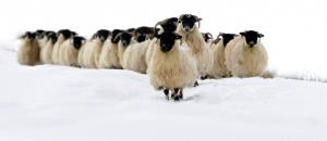 moutons-neige