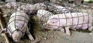 cochons-filets